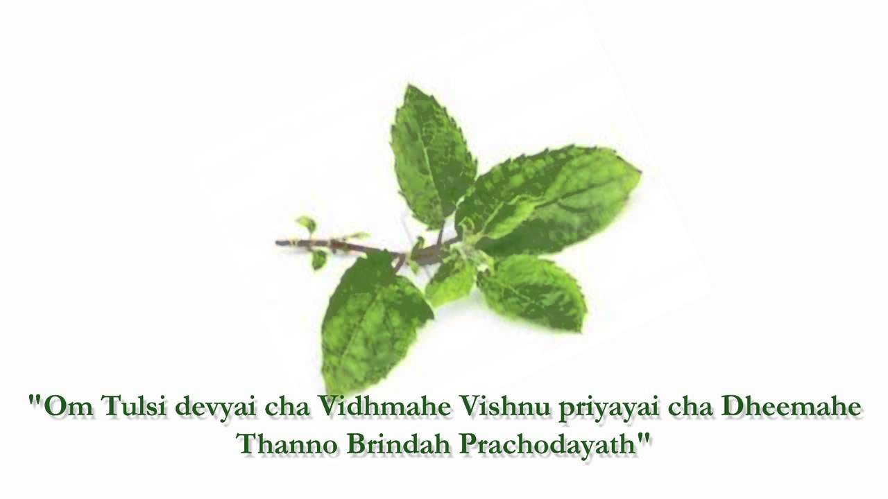Which is the Best Time to Chant Tulsi Gayatri Mantra ...